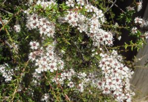 Kanuka tree flowers